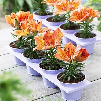 百合花种球盆栽植物室内花卉种子四季郁金香风信子月季玫瑰兰花苗